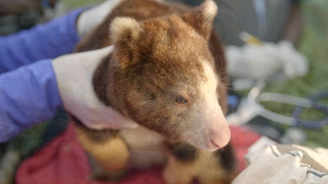 CityStream: Zoo Scientist's Quest for the Tree Kangaroo