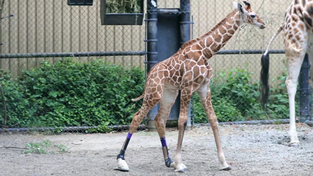 CityStream: Help for Hasani the Giraffe